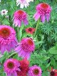 Echinacea «Katharina» (8).JPG