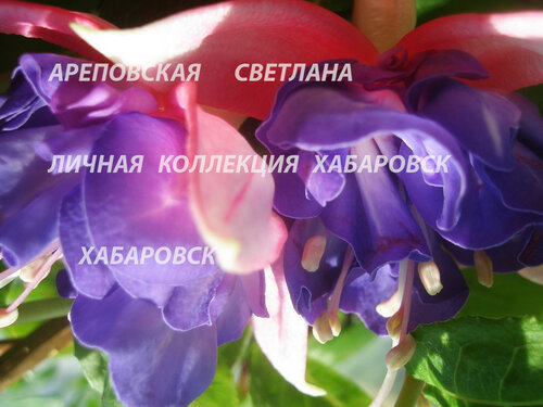 НОВИНКИ ФУКСИЙ. - Страница 5 0_150447_ab833c64_L