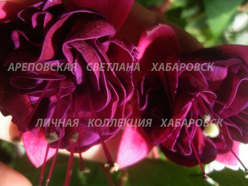 НОВИНКИ ФУКСИЙ. - Страница 5 0_1565c8_4419f802_L
