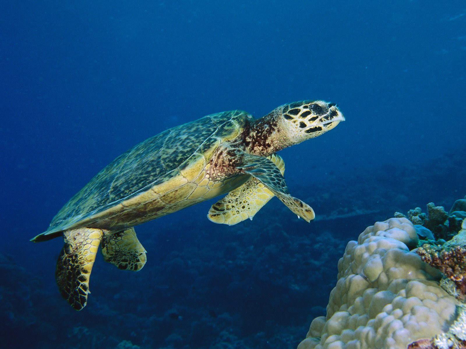 Черепаха-водолаз