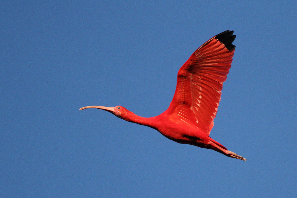 scarlet ibis James hurst's most popular story 'the scarlet ibis' is a short story published in 1960 by james hurstthe story first appeared in the atlantic monthly, and in the years since it has become a.