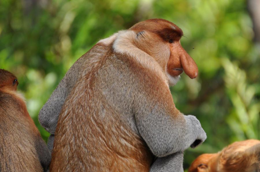 7. Носач У самцов этих обезьян огромный нос, по форме напоминающий огурец.