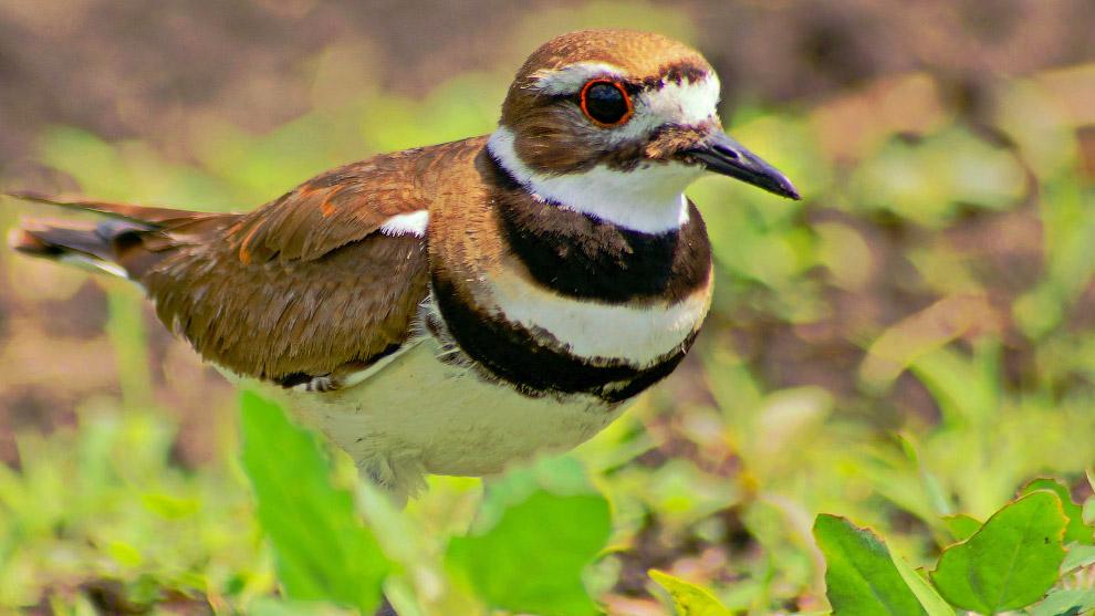 7. Как только птенцы спасаются, взрослая птица тут же забывает про «перебитое крыло» и улетает