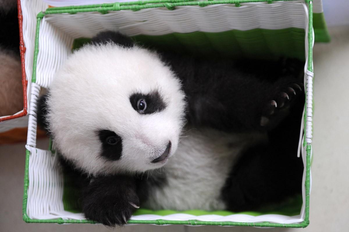 Корзинка с маленьким бамбуковым медведем в центре разведения панд. (Ami Vitale) , Один день из жизни