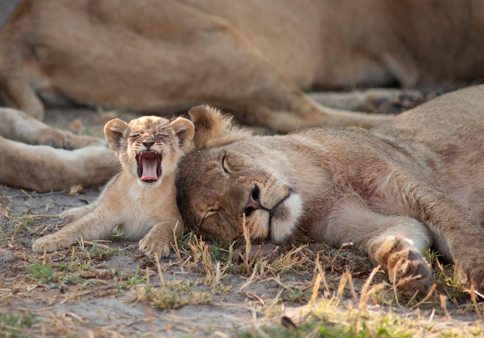 10. Лев Сесил и его союзник, 27 мая 2015. Это одна из последних фотографий знаменитого льва. (
