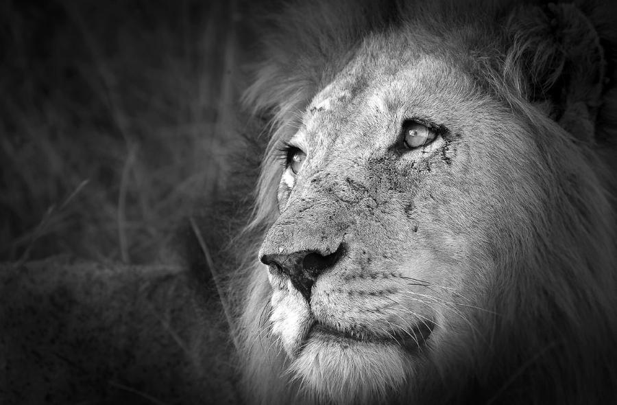 12. Львиный взгляд. Один он может рассказать истории сотен сражений и тысяч охот.