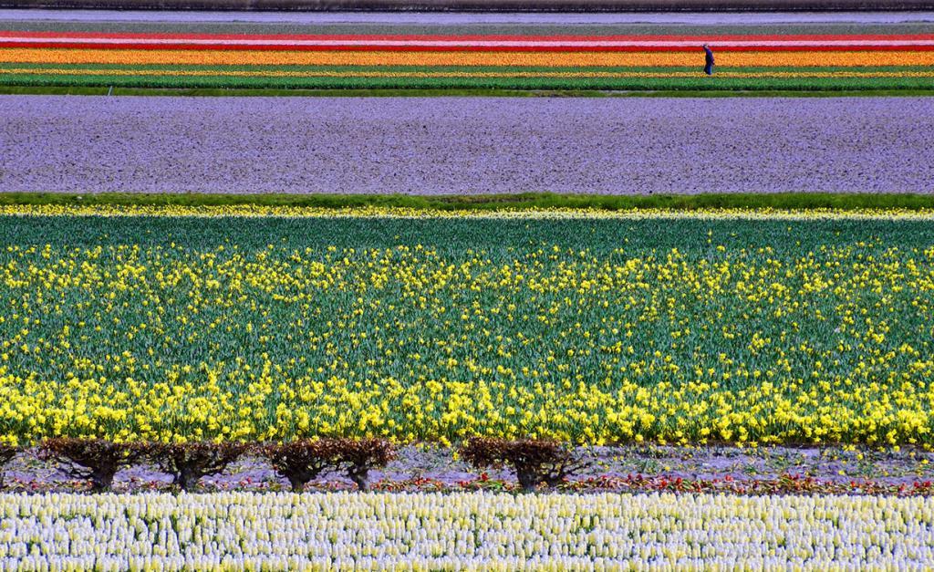 Нидерланды. Цветочные плантации. (Peter Femto)