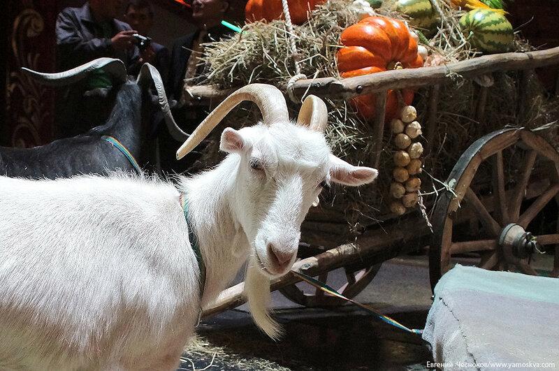15. ИДОЛ. коза Маня. 05.09.16.01..jpg