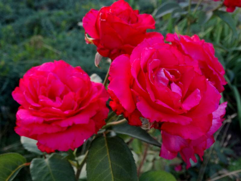 Июль,вечер,розы...