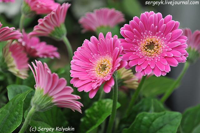 5 Gerbera Garvinea Sweet Surprise (4).JPG