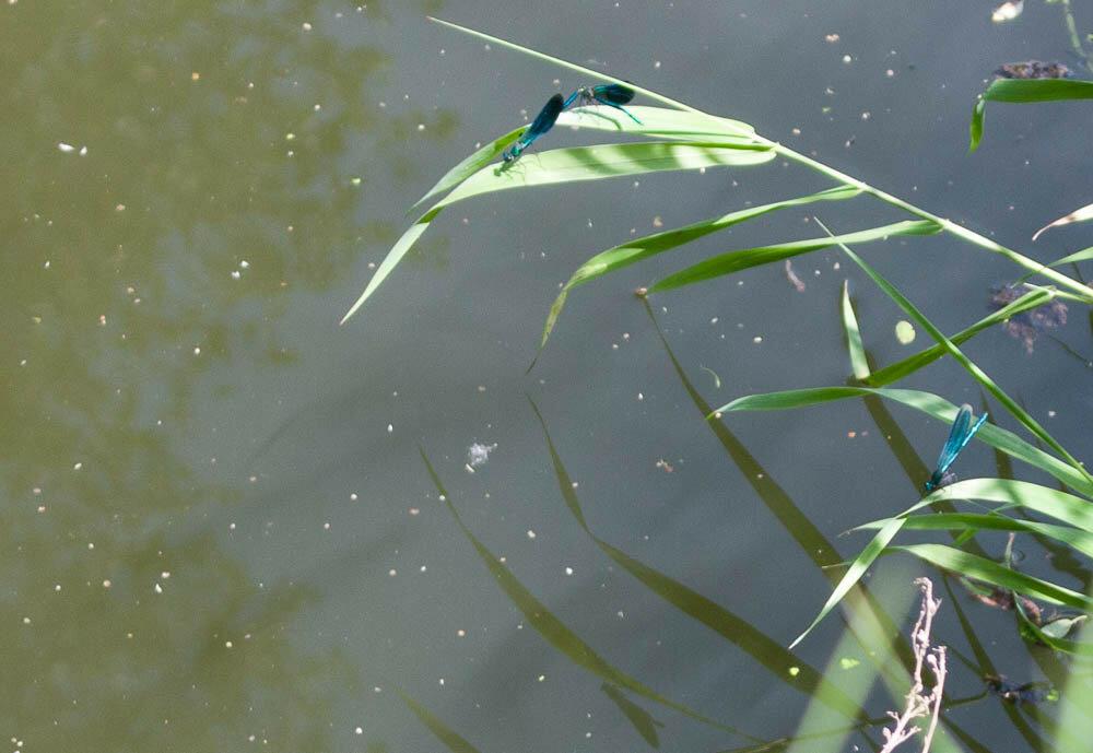 Стрекозы на реке Рожайке
