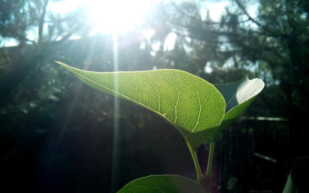 лист сирень солнце зелень лучи leaf lilac sun rays green Иван Шашлов Ivan Shashlov 2016