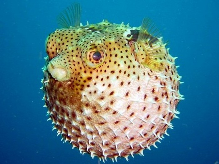 15. Фугу Рыба фугу является самым ядовитым беспозвоночным в мире. Готовить ее стоит очень аккуратно,