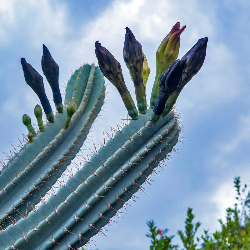 Cactus - Peruvian Apple - Cereus Peruvianus growing naturally outdoors