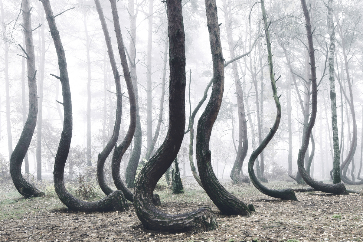 The Crooked Forest: A Mysterious Grove of 400 Oddly Bent Pine Trees in Poland (6 pics)