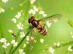 Двукрылые, Diptera