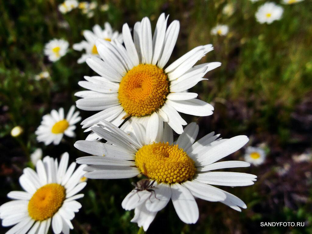 Как цветёт ромашка?