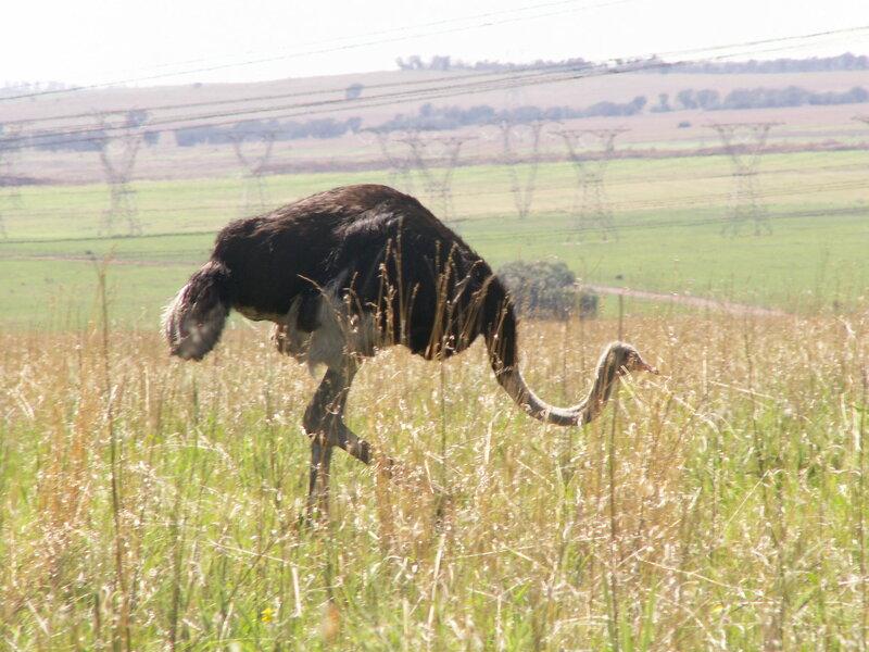 ЮАР, страусы