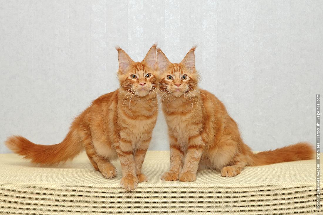 рыжие котята менй кун в Москве