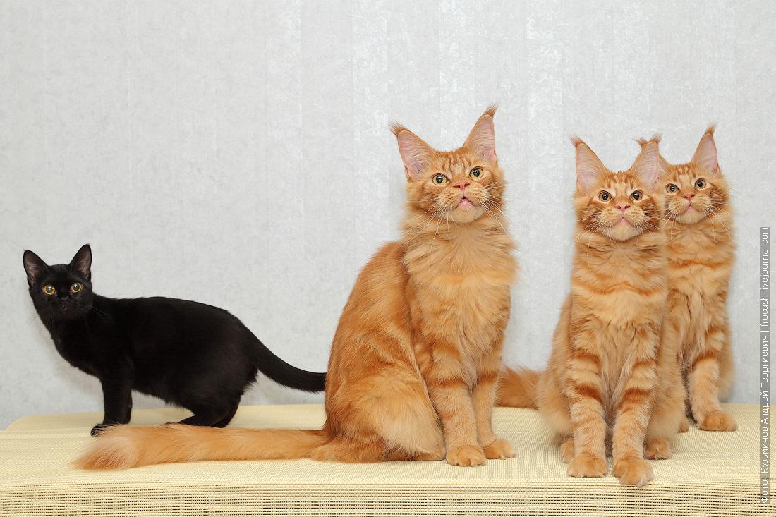 Бомбейская кошка и Менйн-куны
