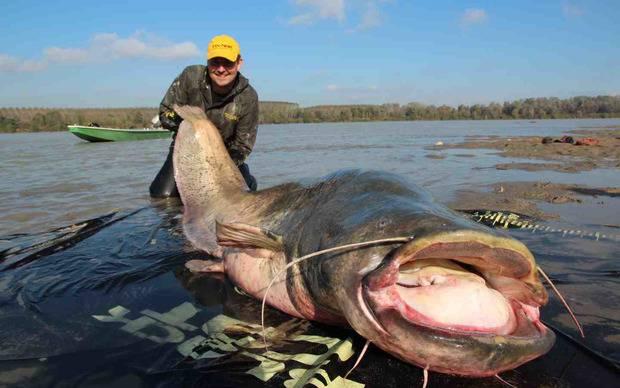 В Польше рыбаки нашли останки немецкого нациста в чреве 190-килограммового сома (видео)