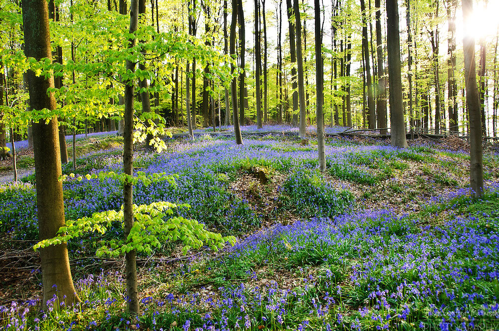 Фотографии Халлербоса   лес синих колокольчиков в Бельгии 0 140af0 269fd3d5 orig