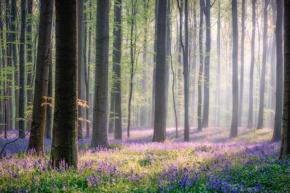 Фотографии Халлербоса   лес синих колокольчиков в Бельгии 0 140af7 871005 orig