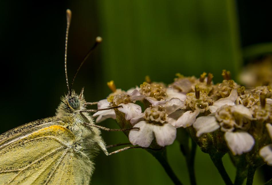 Бабочки очень пугливы. Сделать нормальный кадр с расстояния в несколько сантиметров представляется н