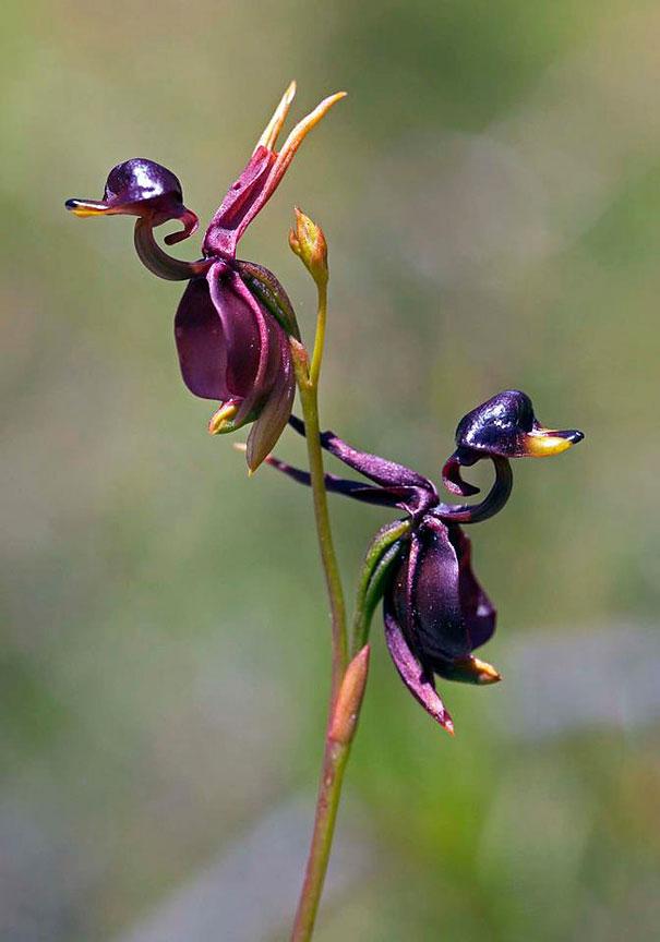 17. Орхидея «Летящая утка»