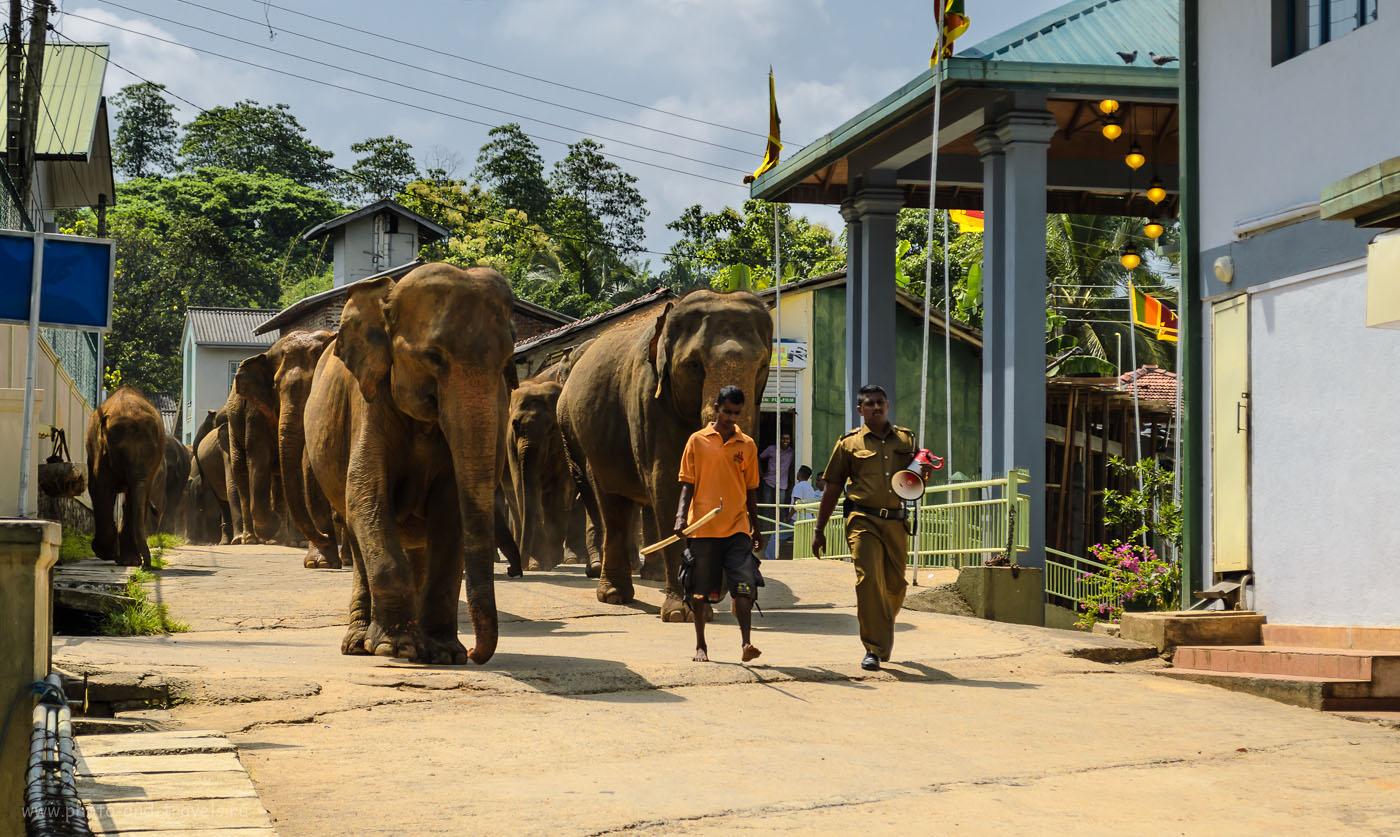 Фото 7. Питомник слонов Пиннавела на Шри-Ланке. Отзывы туристов о поездке на арендованной машине по острову. Какие экскурсии посмотреть.