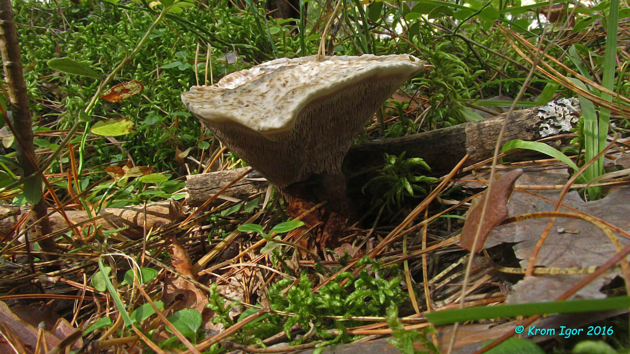 Гиднеллум голубой (Hydnellum caeruleum) Автор фото: Кром Игорь