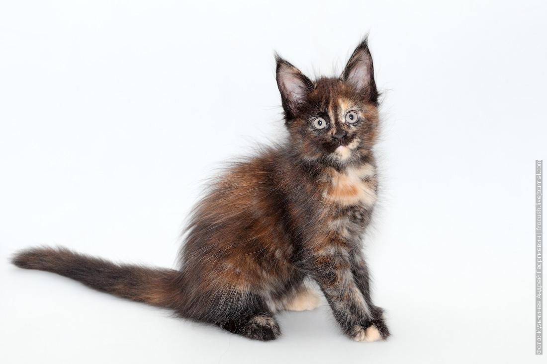 кошка мейн-кун продажа питомник в Москве
