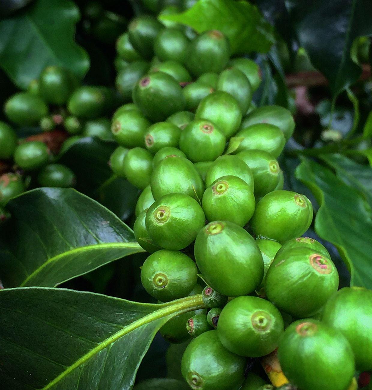 Колумбийский кофе / Colombian Coffee