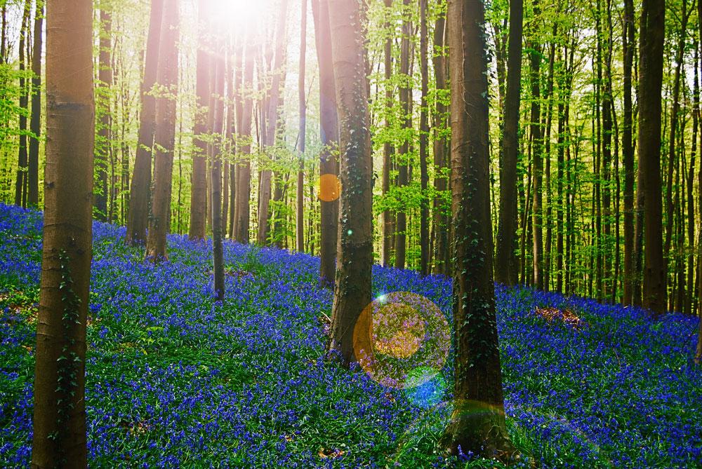Фотографии Халлербоса   лес синих колокольчиков в Бельгии 0 140af6 b162f348 orig