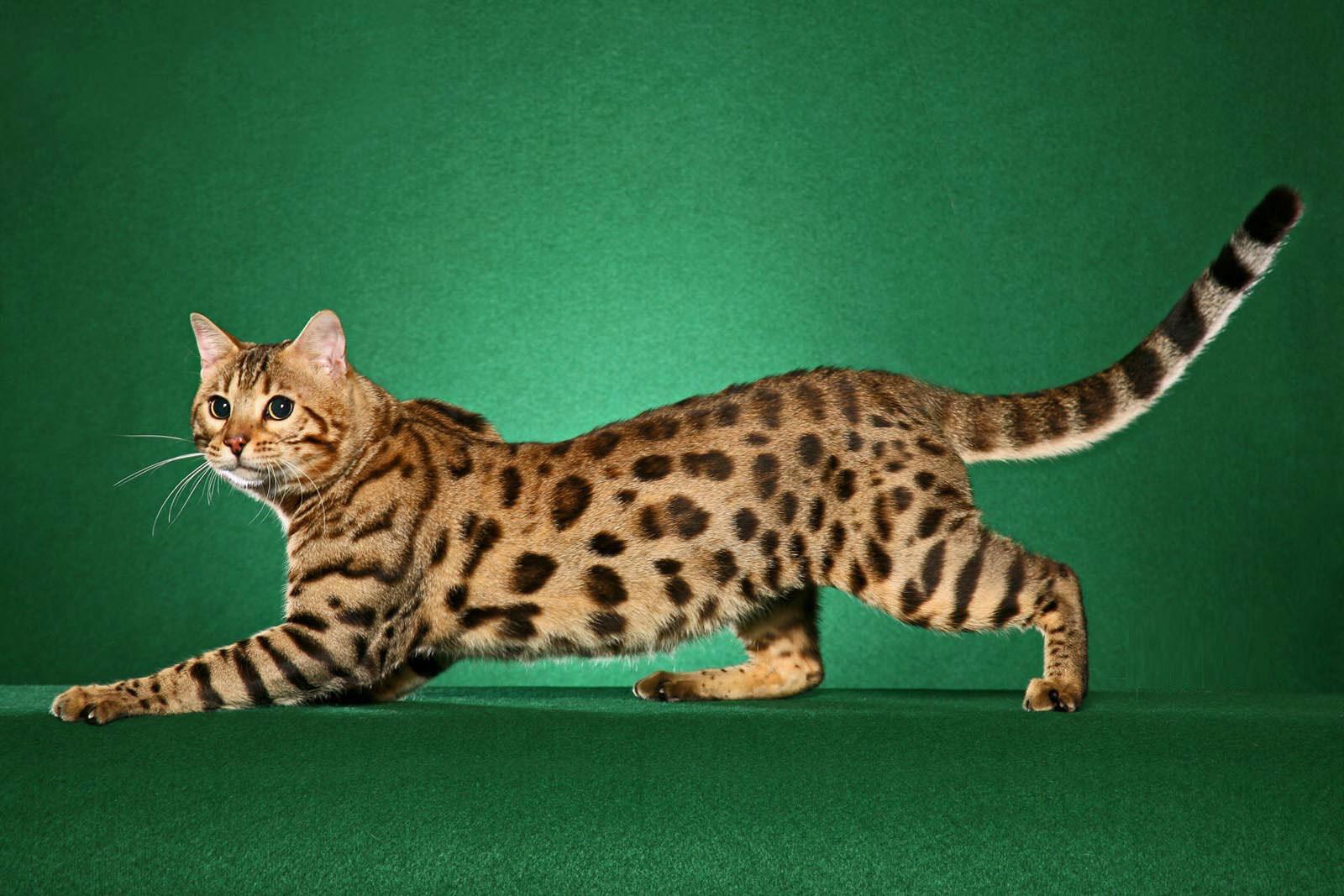 Граціозна тигриця