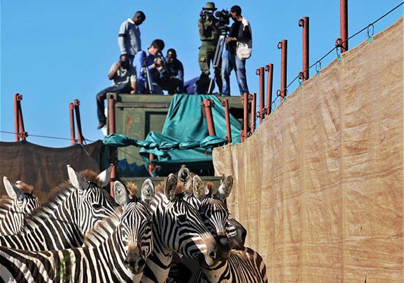 Перевозка зебр (8 фото)