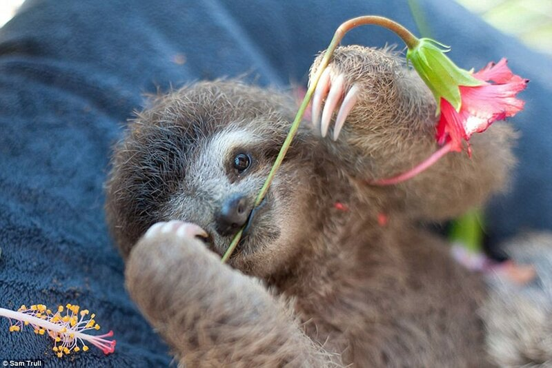 Сэм Тралл основала Институт ленивцев, потому что хотела, чтобы после реабилитации животные могли вернутся в дикую природу.