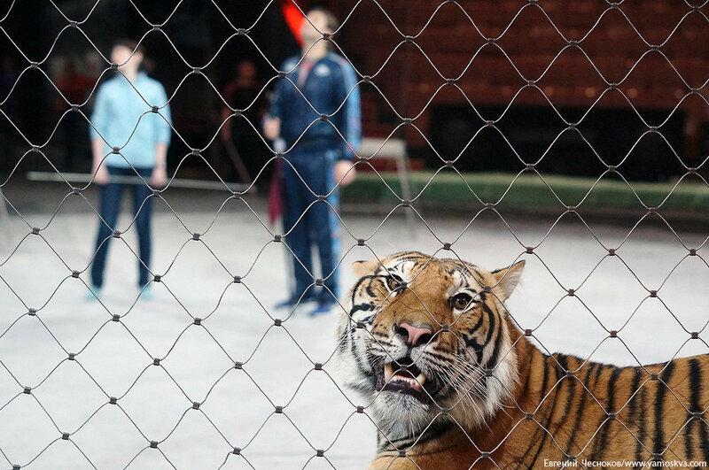 Весна. Назарова. тигры. 29.03.16.05..jpg