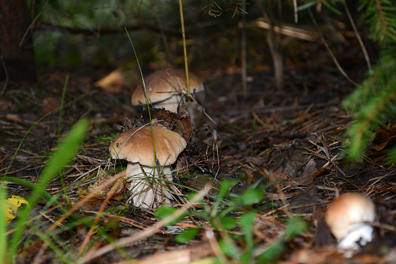 грибы 16 17.jpg