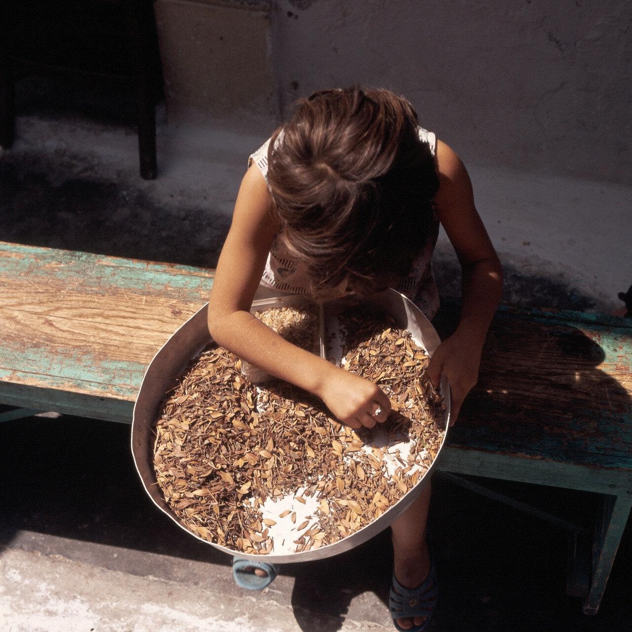 1972. Хиос. Ребенок собирает мастику