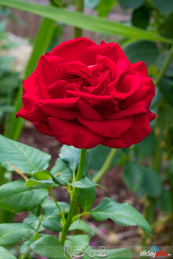 Я люблю все цветы, выпуск 202 | Розы «Tea Hybrid» и «Miss Schweiz».