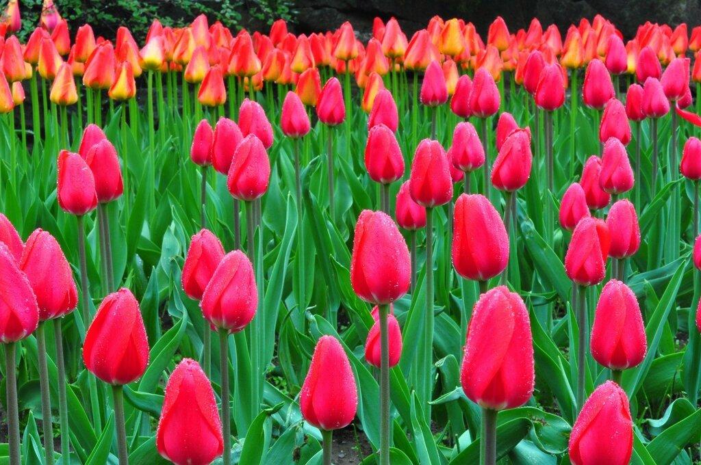 Tulips_Many_Drops_455434.jpg