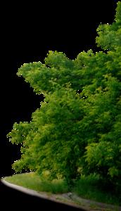 ясень