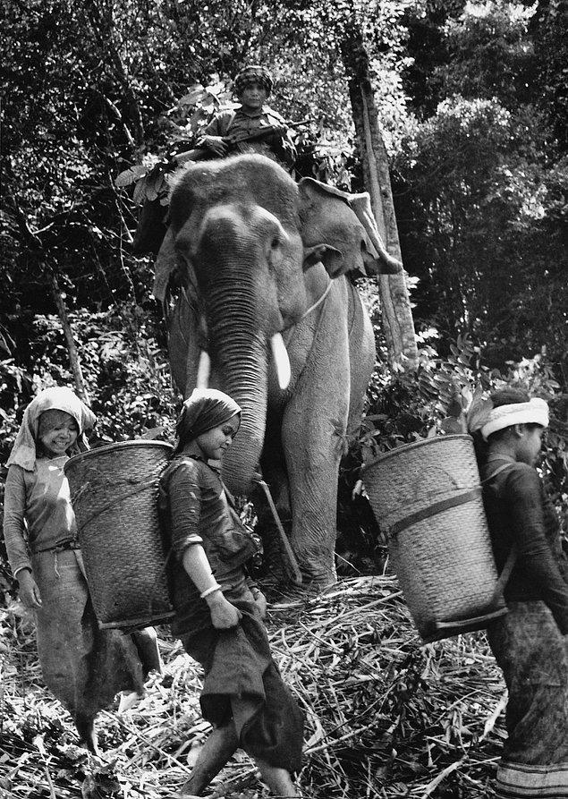 Лаосские партизаны везут на слонах северным вьетнамцам пайки с провизией. (1971г.)