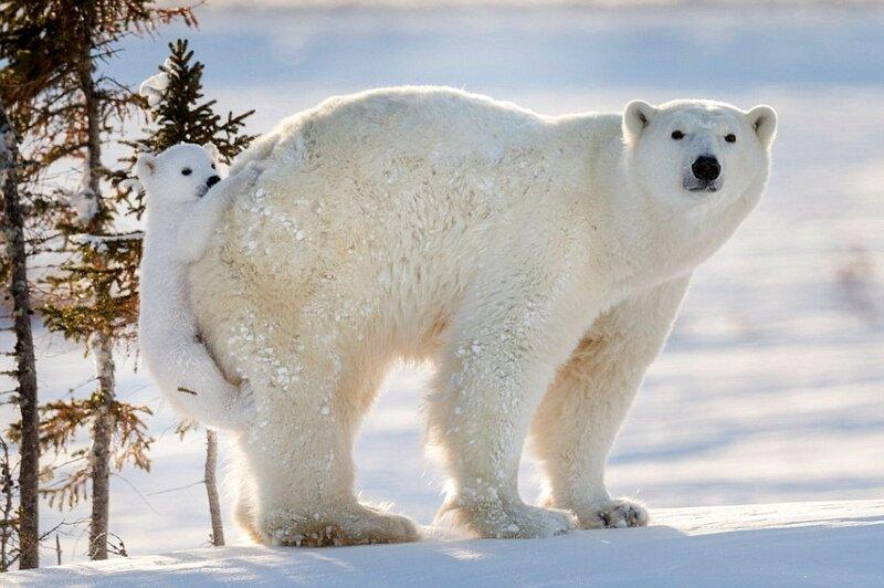 Уставший медвежонок взбирается на спину своей матери в Национальном парке Вапуск в Манитобе, Канада.