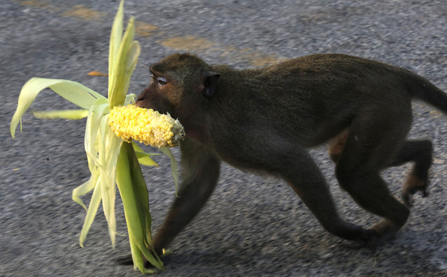 A wild rhesus macaque monkey carries a corn cob thrown on the street to feed it at Khao Sam Muk, kno
