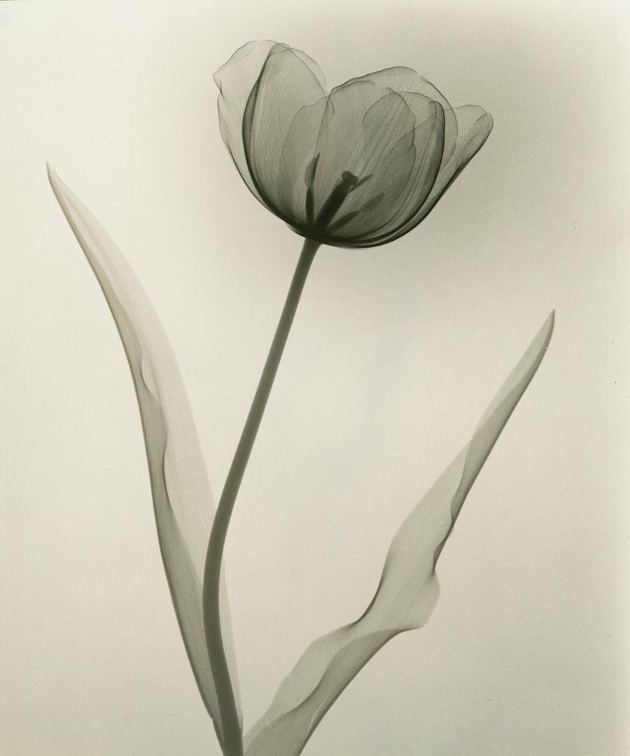 """Tulip,"" 1931, vintage gelatin silver print, 9 x 7 inches"