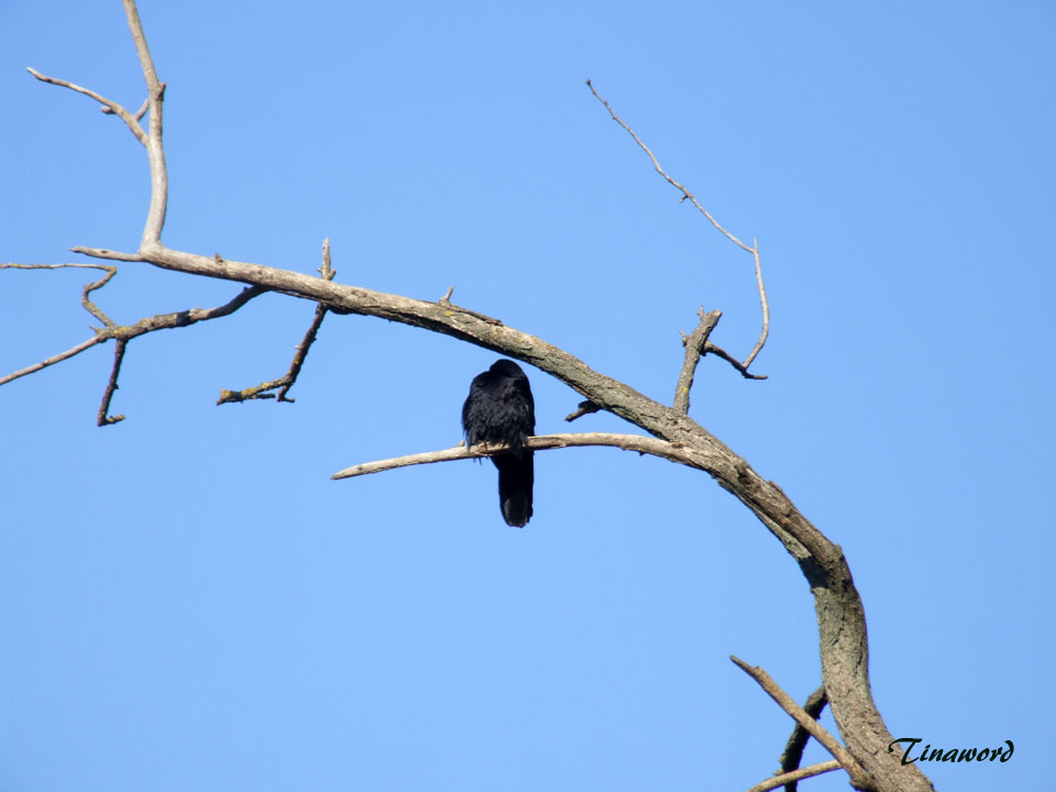 ворона-4.jpg