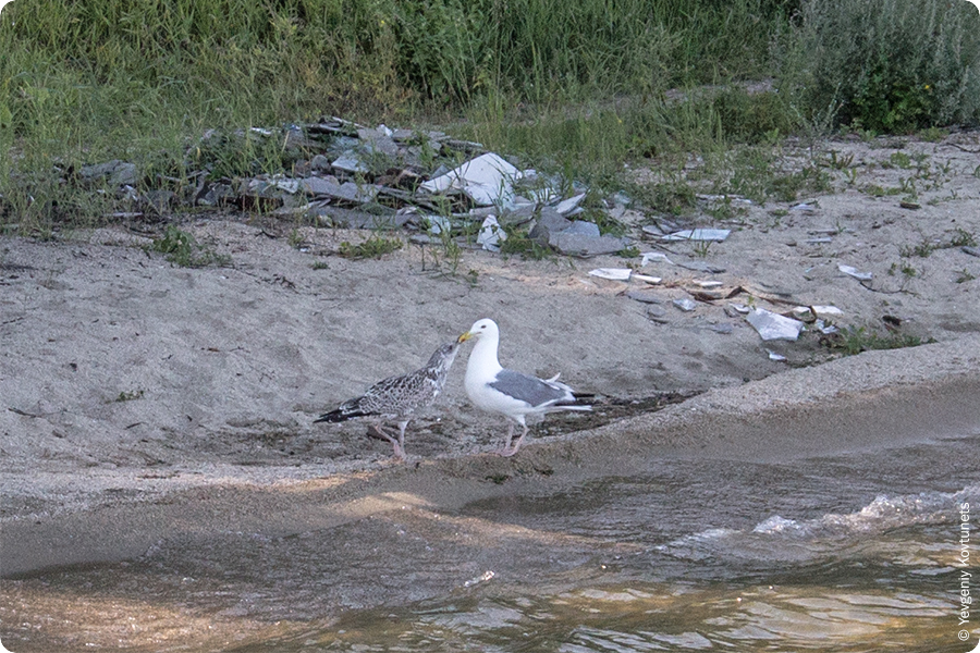 птицы дерутся на Байкальском берегу, Чивыркуй