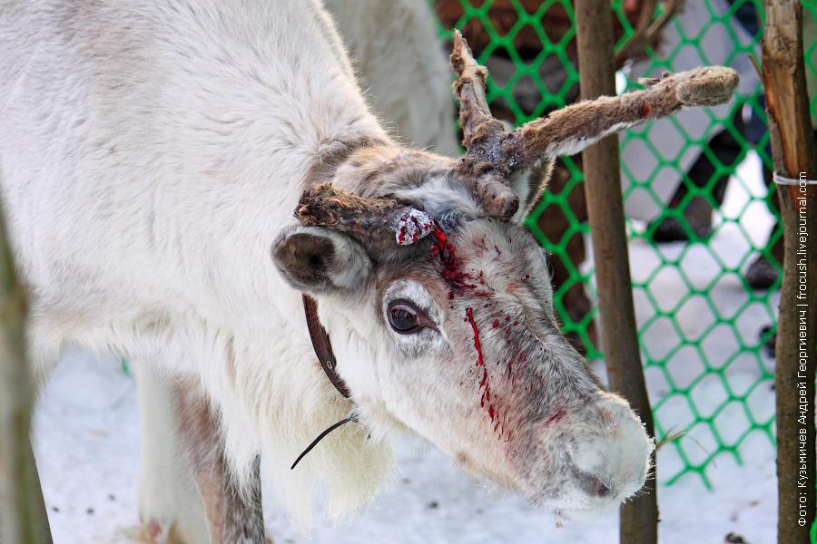северный олень в крови